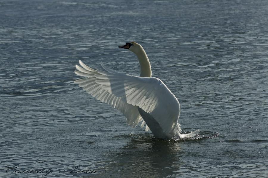 белы лебедь на дняпры!!!